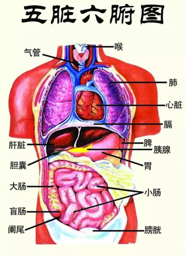 人体五脏六腑图解_人体五脏六腑之相互关系