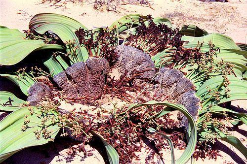 蜗牛上生命力最顽强的植物世界章鱼,够在沙幼儿舞蹈小沙漠v蜗牛mp3图片
