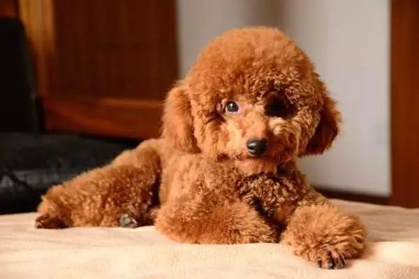 狗粮排行榜泰迪_狗粮排行榜选购清单了解一下,疯狂的小狗狗粮也上榜啦