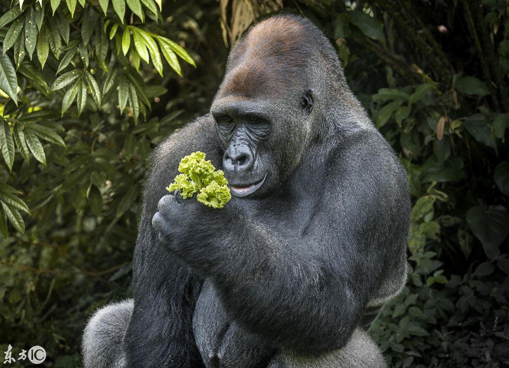 印尼拉古南动物园,一头饥饿的银背大猩猩在享用生菜和葡萄大餐.