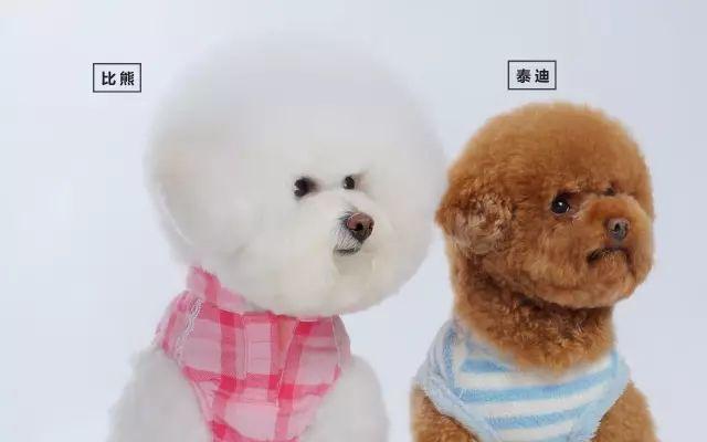 一起来看看如何区分比熊和泰迪的区别吧.