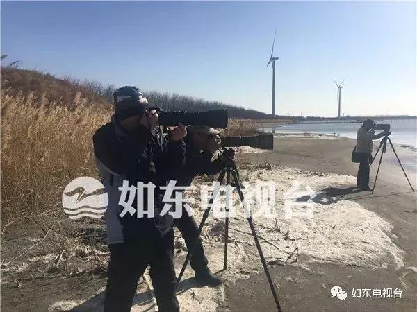 【惊呆】如东境内首次发现22只野生白天鹅