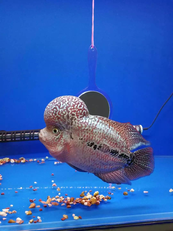 【罗汉鱼上榜】自然界中相貌奇特的动物