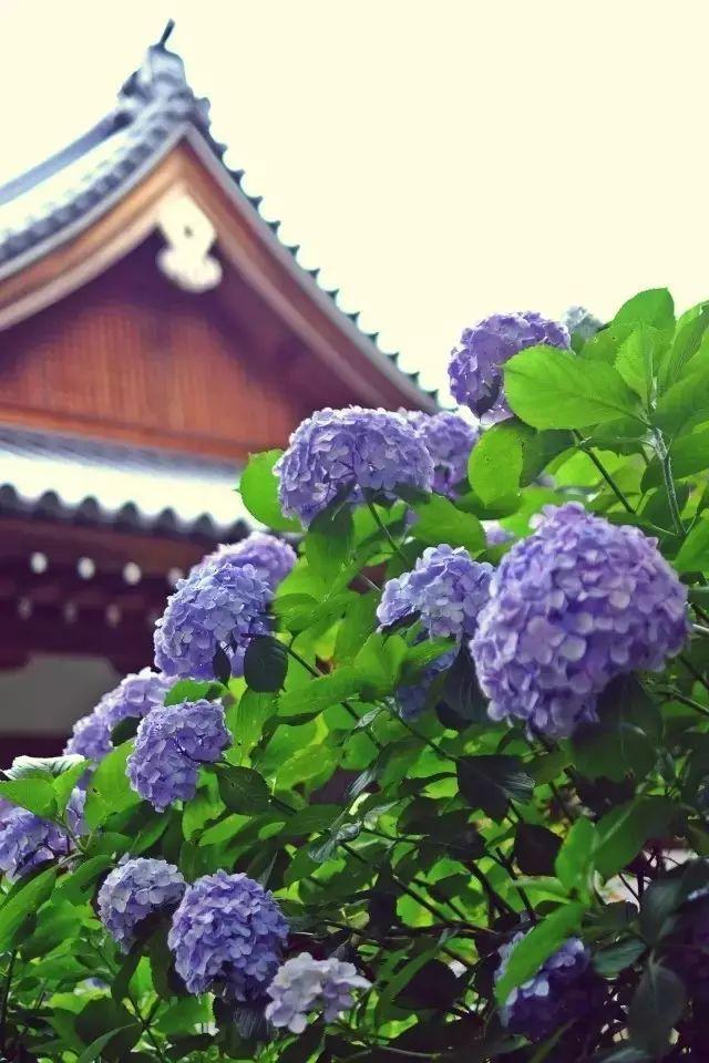 """脑袋大的花球,   开满了整株,   绣球花姿容端庄,   紧紧簇拥,   它们有一个很形象的名字叫""""绣球花"""",   又名八仙花、紫阳花."""