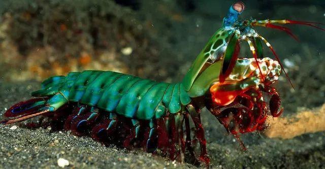 雀尾螳螂虾被称为