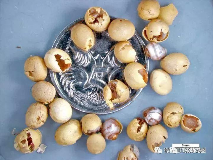 非洲大蚊子的卵蜗牛卤门被宝宝咬了下图片