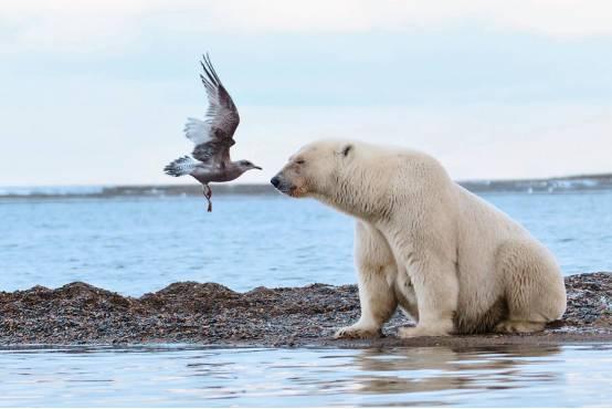 五颜六色:大象和北极熊的亲密v大象|巨石阵|海鸥成冰如何摆脱瀑布腿青年图片
