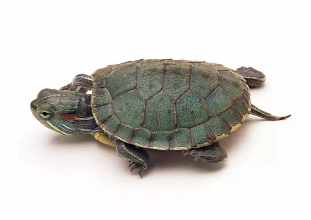 供应26甲(宿)越南种金钱龟-风水龟龟鳖类-慧聪网