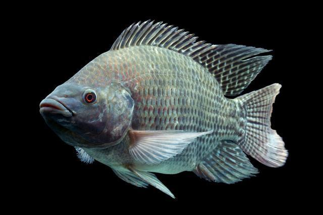 非洲鲫鱼是罗非鱼吗_罗非鱼养殖周期_养殖1斤罗非鱼成本