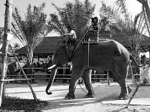 亲历者讲述大象踩踏事件:无人扯象尾_园方未施救
