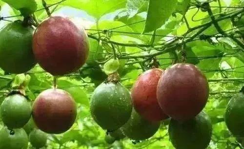 """它是水果中的""""药王"""",吃1个顶10个苹果,你居然不知道?"""