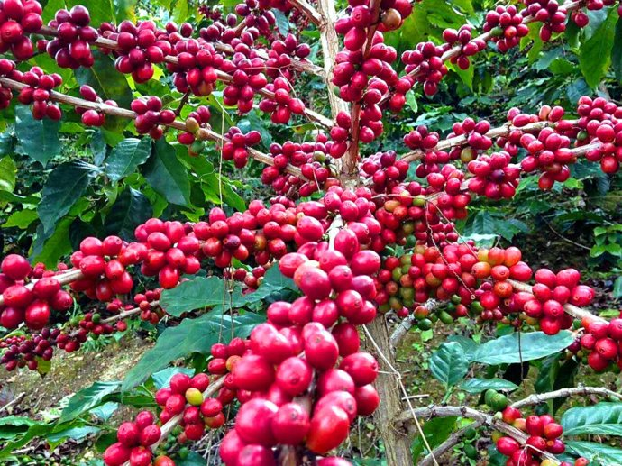 喝了那么多年的咖啡,才知道原来最好的小粒咖啡竟然在中国 - 千帆远澋 - 千帆远澋