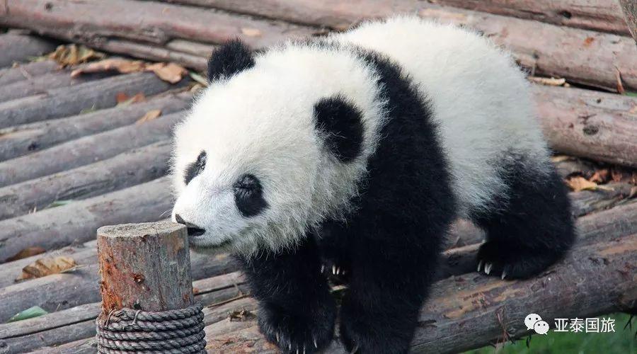 当大熊猫遇上兵马俑,麻辣火锅配上个羊肉泡馍,奇妙旅程开始了!