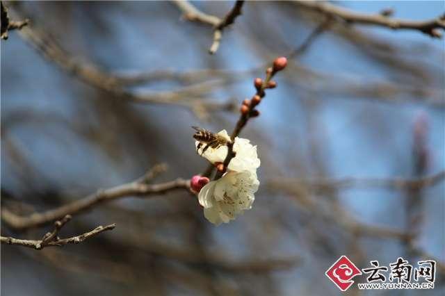 昆明冬梅枝头悄然绽放 引来小蜜蜂采蜜忙(高清图集)图片