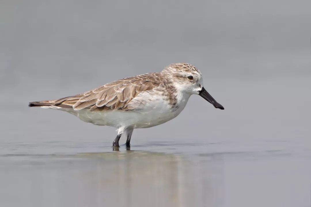曾经一张嘴就能闯荡江湖,如今鸻鹬艰难为哪般 滨海湿地风物志
