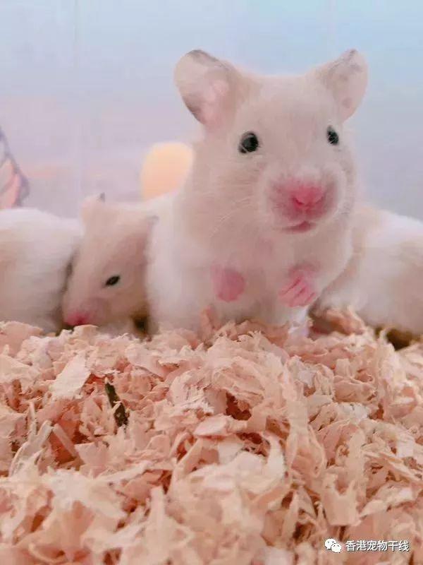 人不如鼠,仓鼠君都拥有三层v仓鼠小楼房黑魂3苍蝇来源图片