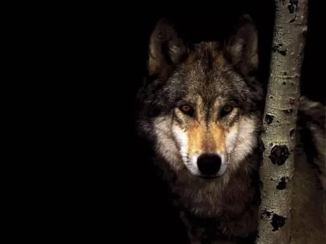 偷拍自拍狼国成人网_看到犹太人我就会自然的联想到《狼图腾》里说的那种狼性,他们的学习