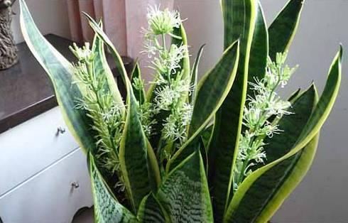 3,观叶植物之虎皮兰开花图片