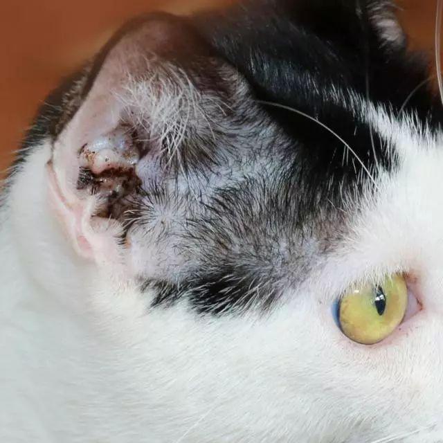 【翻译】猫的各类皮肤病.