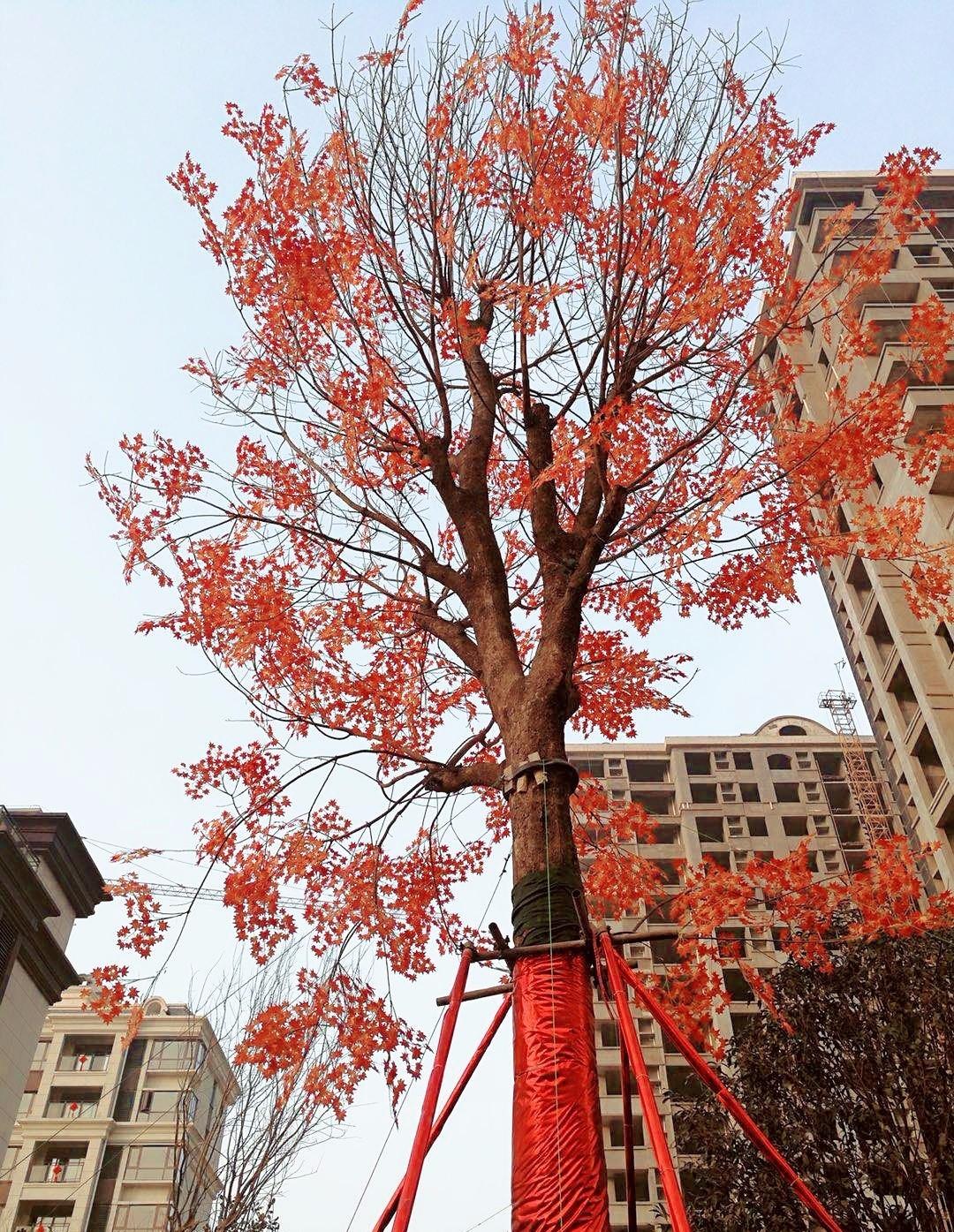 """社区内3#前银杏树,2#,3#间景观实拍图 两行近十米高的银杏树在冬天""""长图片"""