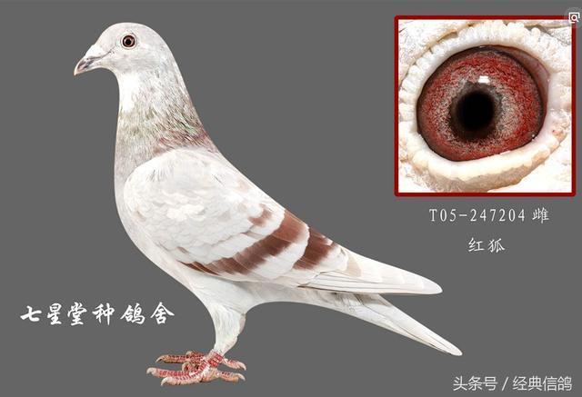 动物鸽蟒蛇教学图示鸟鸟类640_437海南鸽子吃羊图片