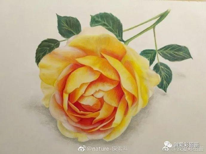 彩铅手绘--橙月季