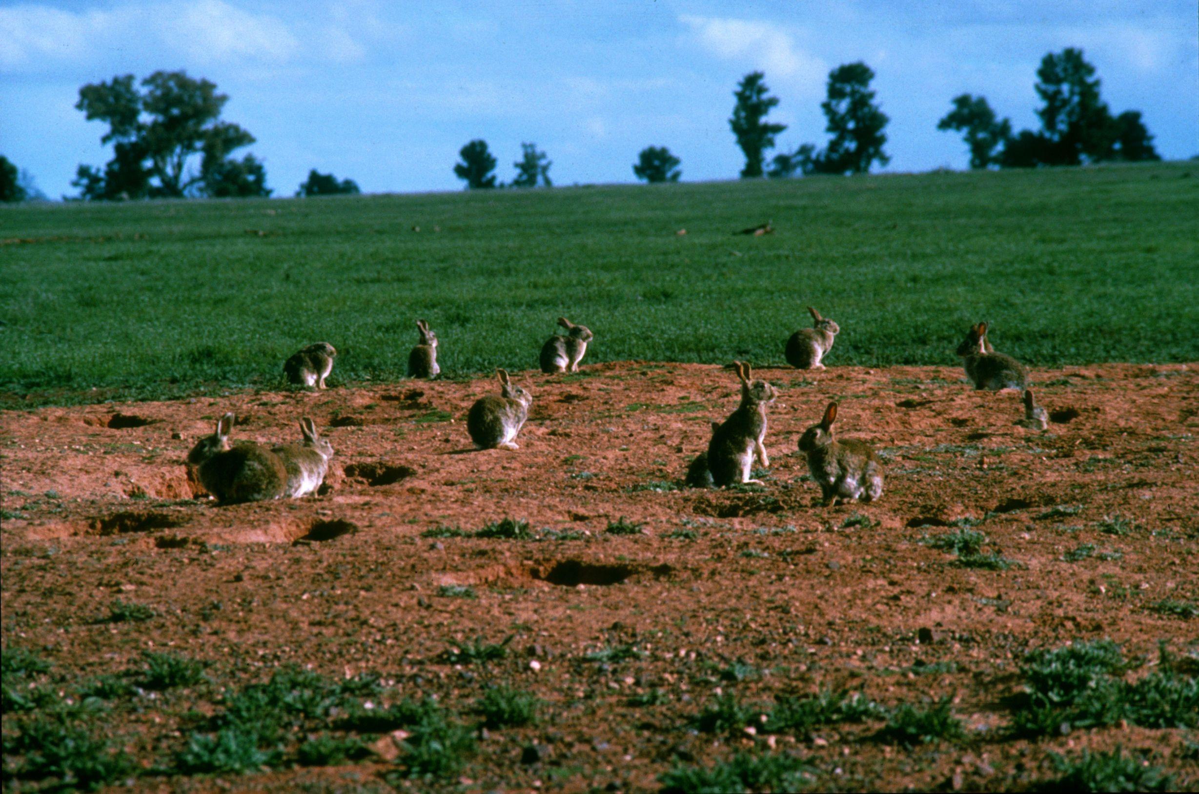 澳洲的野兔入侵已经有一段历史了,但至今仍无法缓解,已多达100亿余只.