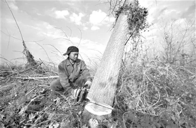300万根欧美黑杨种了砍,谁来为洞庭湖生态灾难负责   新京报快评