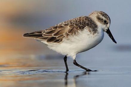 这个关于勺嘴鹬的动画短片看到我流泪,滩涂对这些候鸟真的很重要