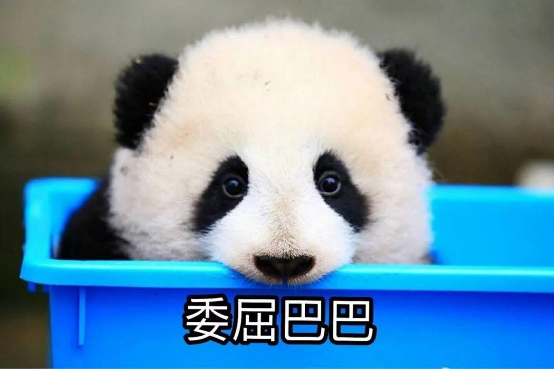 大熊猫:为国卖萌,应该