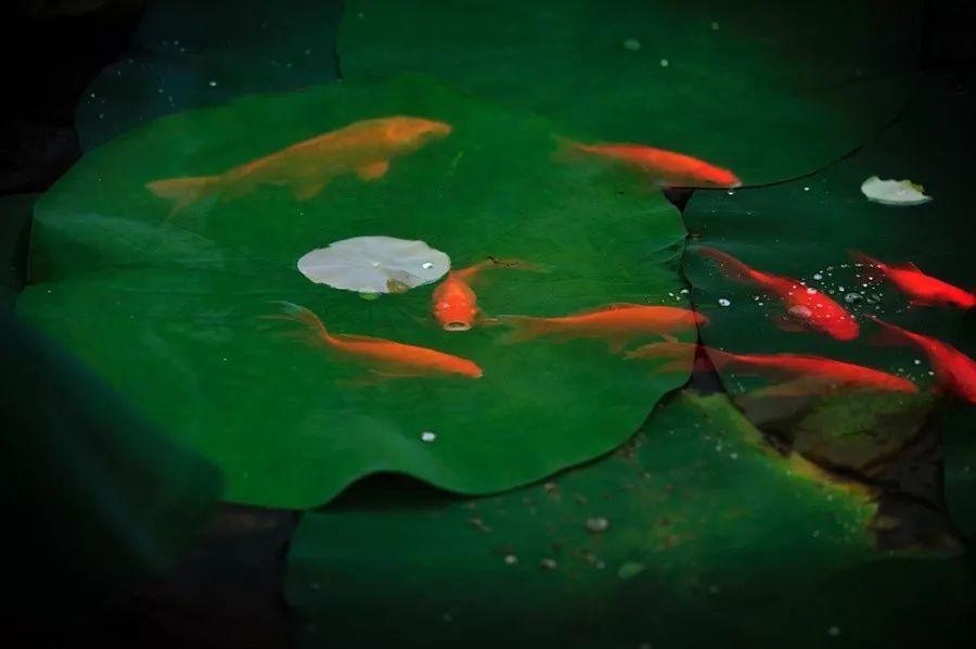 宠物 正文  锦鲤戏荷 荷花池中的锦鲤, 灵动起澄澈的涟漪, 轻轻一晃