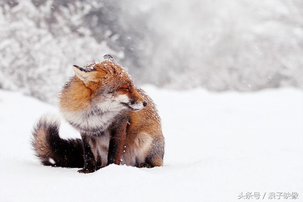 看雪山赤狐的狡黠一笑,你的内心会想些啥?