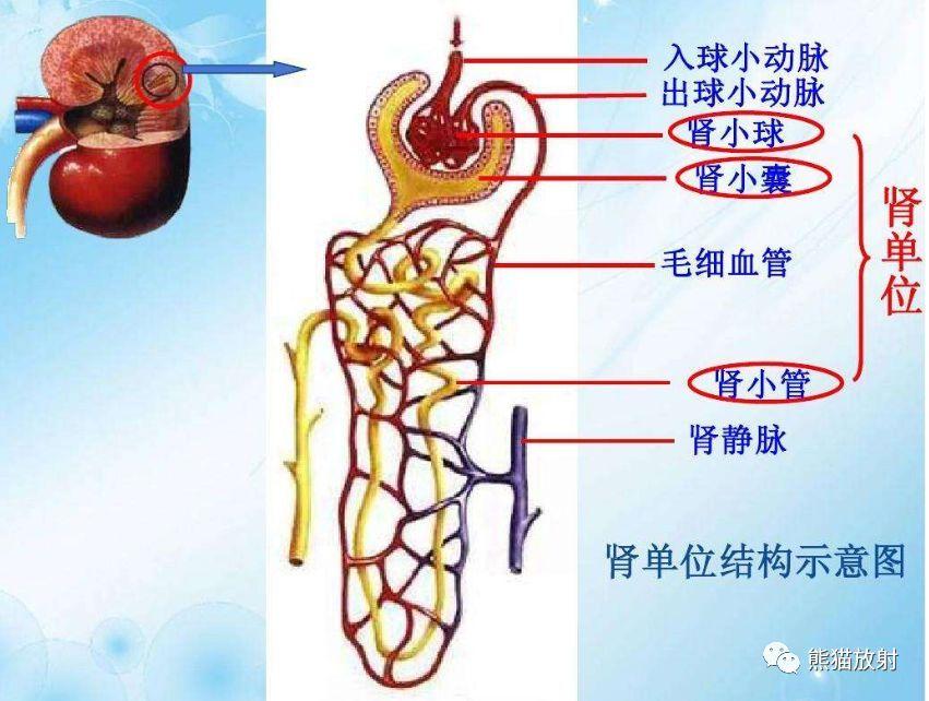 囹�9�%9�._精彩解剖丨肾脏,输尿管,膀胱,肾上腺,前列腺