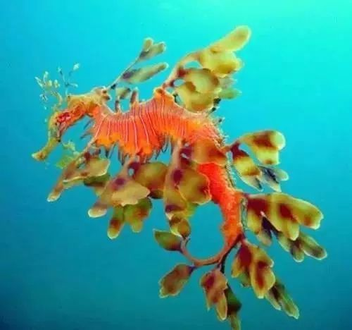 海洋大熊猫叶海龙,热带海礁岛的水生生物,简直太神奇啦!图片