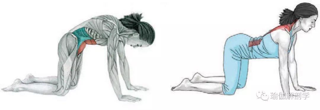 简单的瑜伽猫牛式,其实不简单!图片