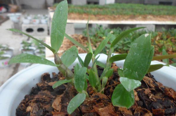 5、 土壤湿度的管理   铁皮石斛要求较高的土壤湿度,土壤湿度在50%~60%,铁皮石斛根系生长较好,成活率较高,有利于植株生长.图片