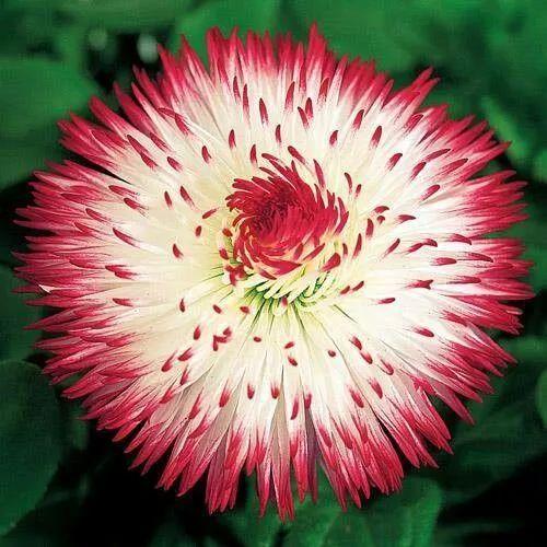 Rose【从未见过的怪花!一辈子没见过】(7674) - Rose - Rose Yang的博客