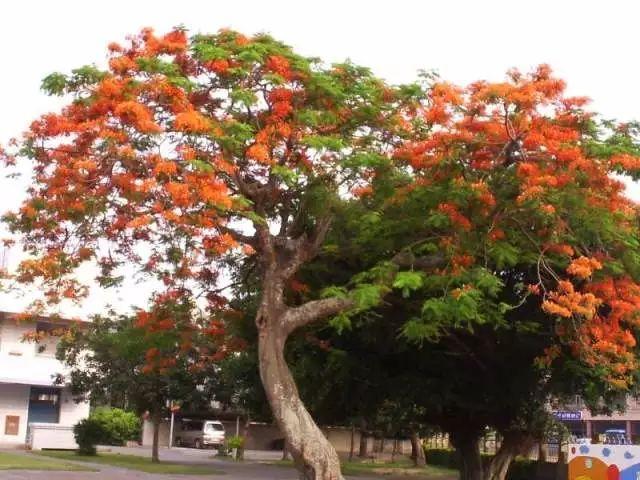 火焰木树图片图片