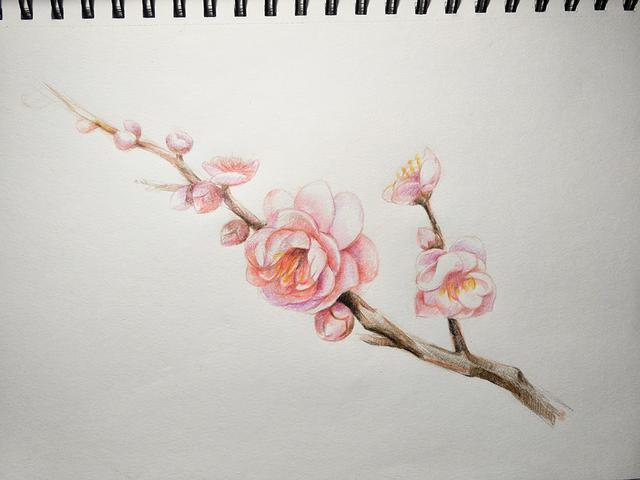 彩铅手绘梅花