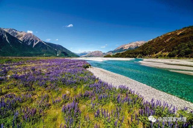 新西兰南岛河流两岸的鲁冰花海