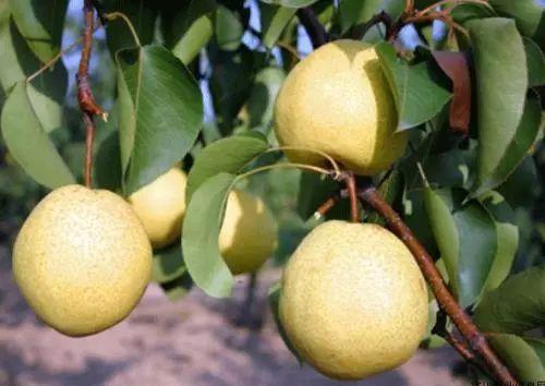 电商帮扶,如何破解千万斤酥梨销售难?