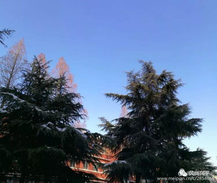 秦岭雪松,兴平雪后一道美丽的风景线