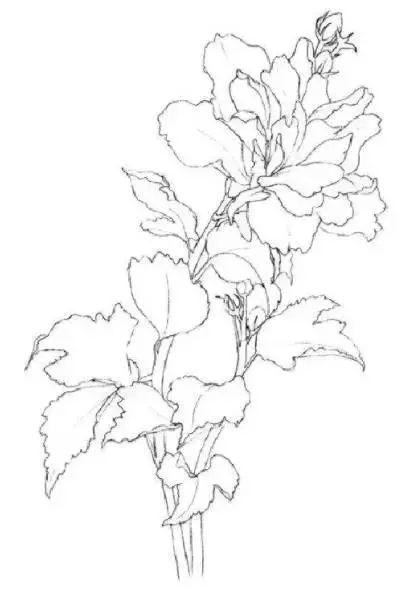 干货丨木槿花的彩铅画法