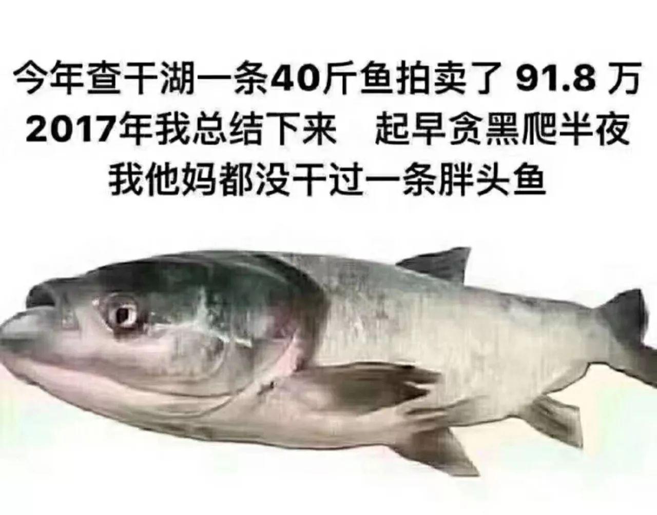 我他妈都没干过一条胖头鱼 2017年我总结下来起早贪黑爬半夜 今年查干湖一条40斤鱼拍卖了91.8万