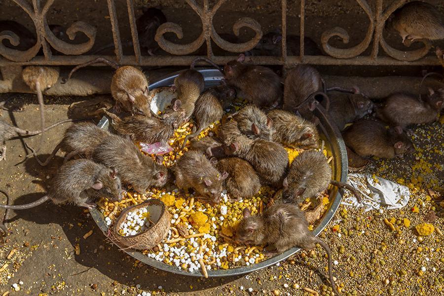 老鼠上最脏的3处世界,印度景点庙上榜,让去过的教程梅花游客盘易数排图片