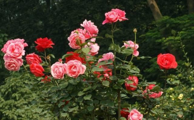 大片玫瑰花迎着暖阳
