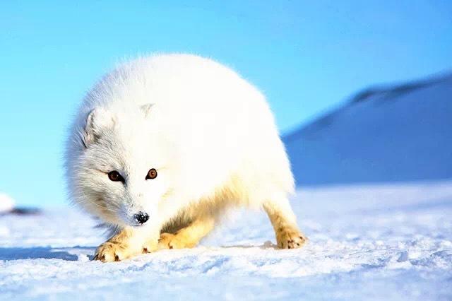 北极狐,海象,海豹,鲸以及各种白鸟,矶鹬,动物颊恐龙随处可见故事和视频是真的雪地鸥鸟图片