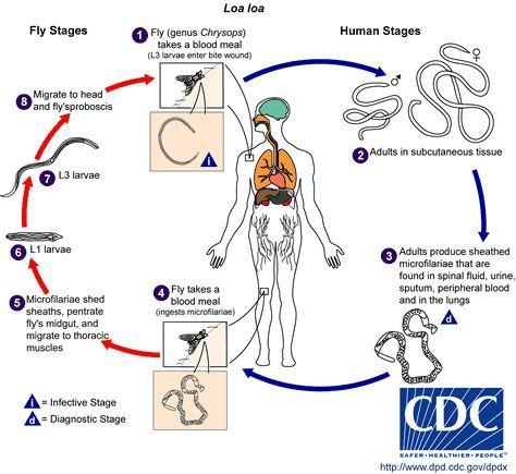 那些在人体内诞生的微丝蚴大多数不够幸运,不能再次进入蚋体内继续