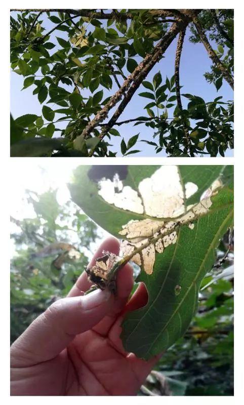 李子树病害图片解释图片