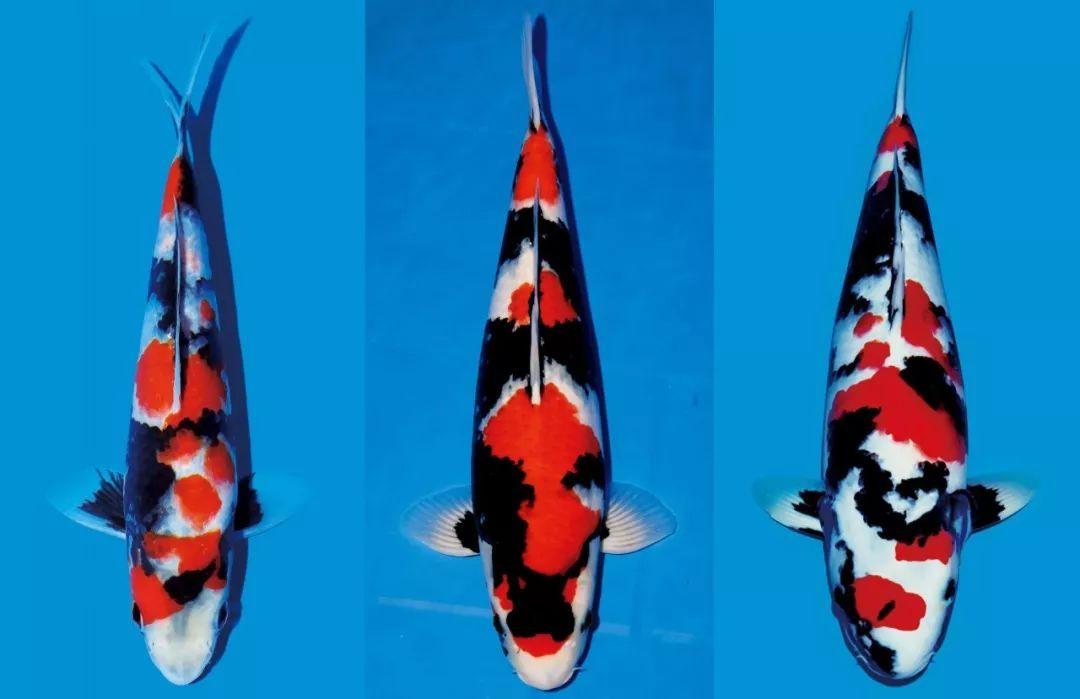 昭和三色锦鲤_昭和三色: 和前两种不同,这个品种的锦鲤鱼体以黑色底色为主,有红,白